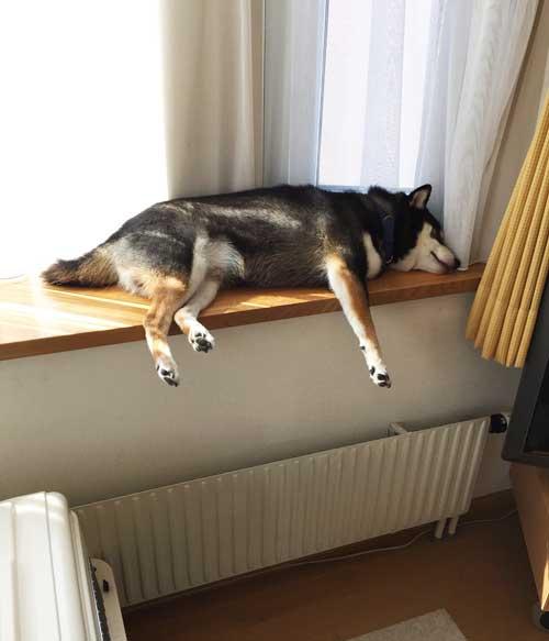 柴犬のパックちゃん、エピちゃん、それぞれの一日。